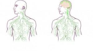 immune syste
